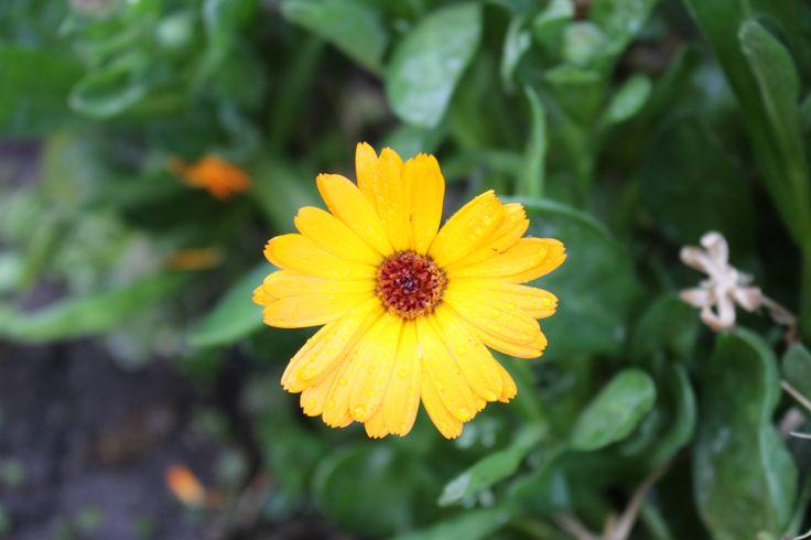 Flor rayito de sol...