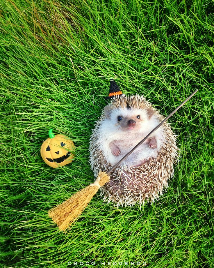 There are more than 10 different species of hedgehog out there, and how long do hedgehogs live is dependent on that species