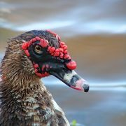 about Muscovy ducks