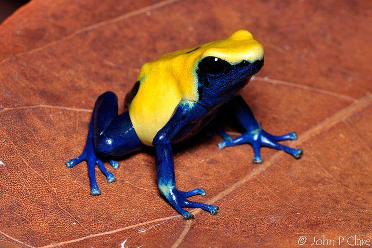 poison tree dart frog | john-albums-citronella-dart-frogs-picture1760-dyeing-poison-dart-frog ...