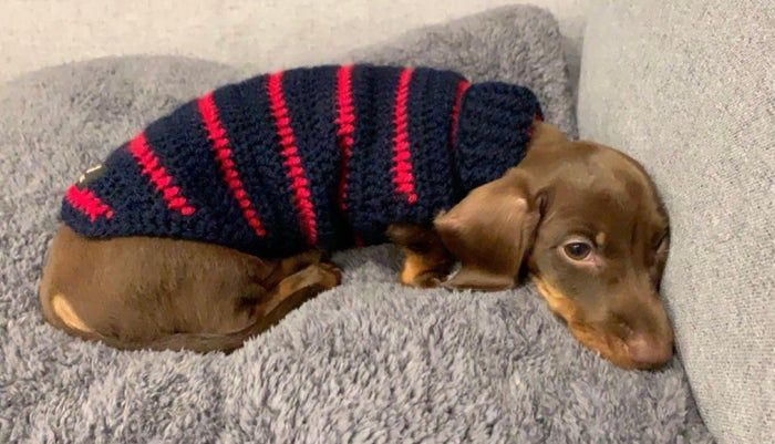Pin By Beardhi On Doxie In 2020 Dog Jumpers Sausage Dog Cutest