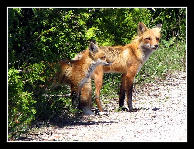 Red Fox - Vulpes vulpes, via Flickr.    Mother fox and kit, on the Cabot Point track, Bruce Peninsula, Ontario, Canada    We were just driving along by the lake and mother fox and three of her kits came out of the bush and were playing in the road, what a treat!!