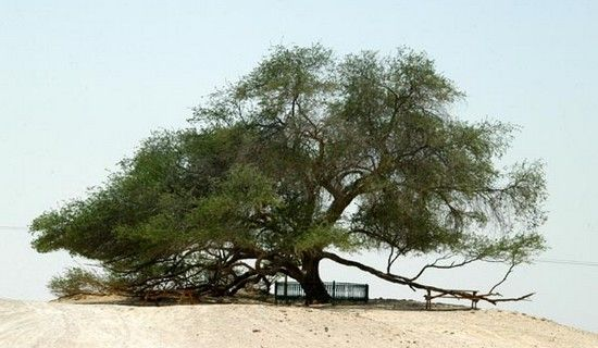 10 Wonderful Trees in The World - Tree of Life (Bahrain). This 400yo tree amaze for the fact that it stands alone in a barren desert at the highest point, your inhabitants believe that is the location of the Garden of Eden