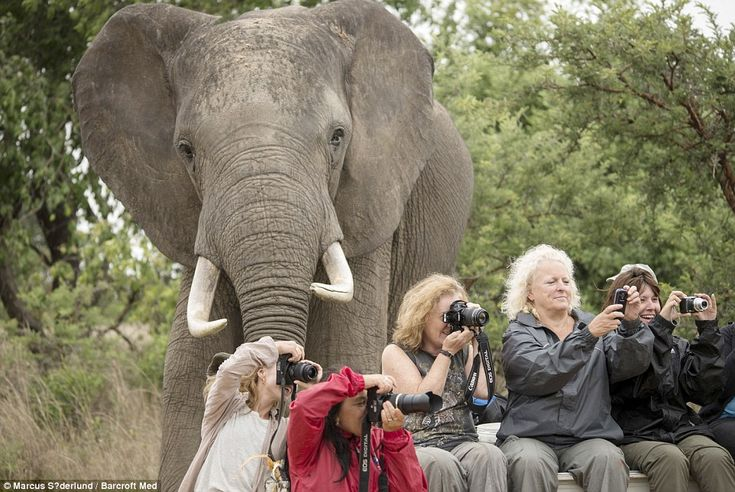 A huge male elephant photobombs (from left to right) Lisa Marie Winther, from Norway, Deb Sulzberger, from Australia, Sarah Daly, from Scotland, Jane Burnett, from England, and Nicky Walker, from England, at Imire: Rhino and Wildlife Conservation area in Wedza, Zimbabwe