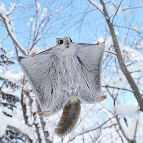 . Photography by @ (Masatsugu Ohashi). Flying squirrel. #Wildlife #FlyingSquirrel #Squirrel