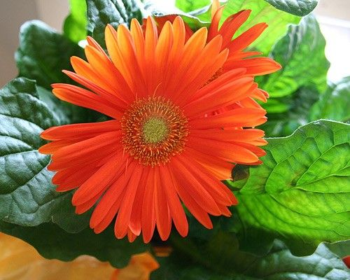 Gerber daisy (Gerbera jamesonii) This bright, flowering plant is effective at removing trichloroethylene, which you may bring home with your...