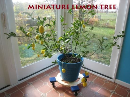 Even if you live where the winters are cold, you can grow fresh citrus of your own with miniature fruit trees.