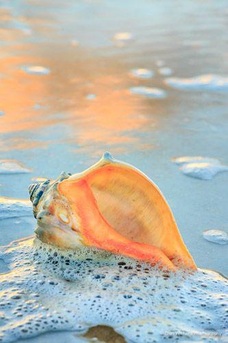 Whelk shell in the seafoam, Hatteras Island