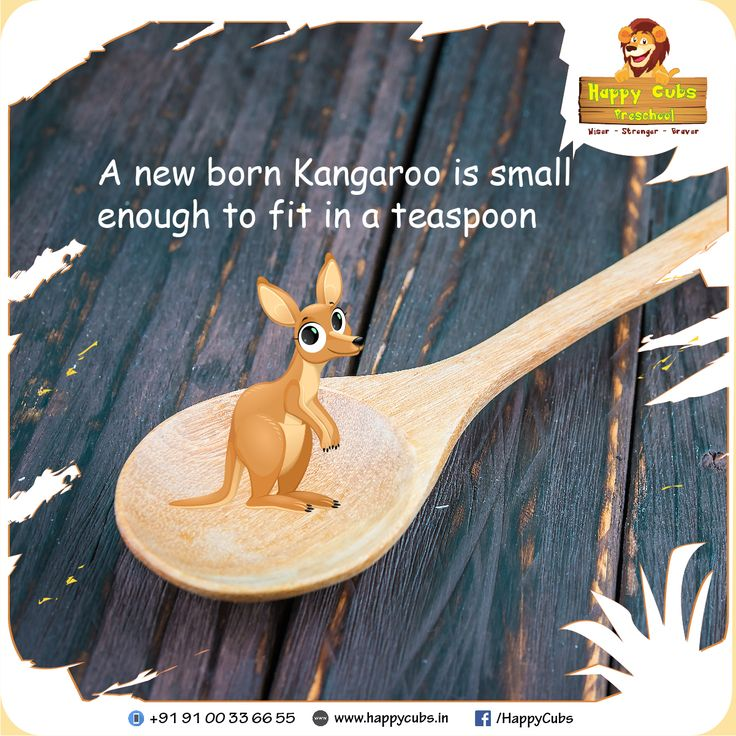 A new born #Kangaroo is small enough to fit in a #TeaSpoon #FactOfTheDay #HappyCubs #Preschool #Children #Kids #Kukatpally  www.happycubs.in