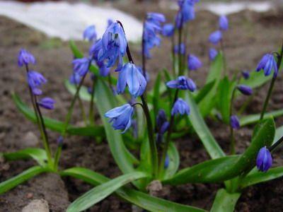 Пролеска, или сцилла, или голубой подснежник, относится к семейству лилейных. В природе встречается на Кавказе,