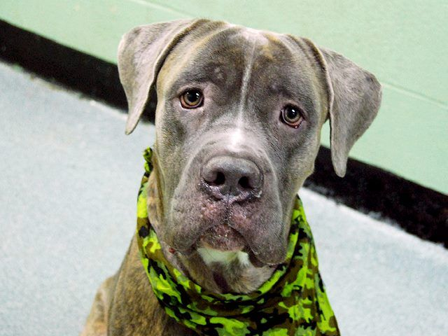 TO BE DESTROYED - 12/31/14 Manhattan Center   My name is LEWIS. My Animal ID # is A1023981. I am a male br brindle and white cane corso mix. The shelter thinks I am about 3 YEARS old.  I came in the shelter as a STRAY on 12/24/2014 from NY 11207, owner surrender reason stated was STRAY.