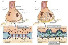 Figure 5.1. Electrical and chemical synapses differ fundamentally in their transmission mechanisms.