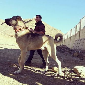 Kangal. Sure is a very large dog.