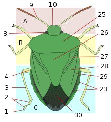 Heteroptera Anatomy: ... Generalized morphology of a Shield bug Pentatomoidea:A: head; B: thorax; C: abdomen. 1: claws; 2: tarsus; 3: tibia; 4: femur; 8: compound eye; 9: antenna; 10: clypeus; 23: laterotergites; 25: pronotum; 26: scutellum; 27: clavus; 28: corium; 29: embolium; 30: membrane.   ,,,,,,,,, ... Selected families of Heteroptera      Assassin bugs (Reduviidae)     Broad-headed bugs (Alydidae)     Bedbugs and flower bugs (Cimicidae)     Plant bugs (c.6,000 species of Miridae)…