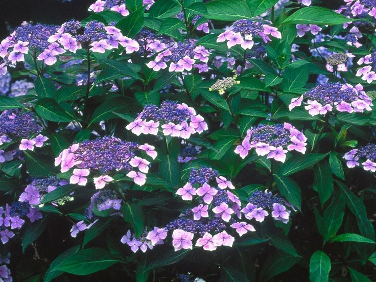 Landscapers Picks The 10 Best Shrubs For Pots Shrubs