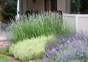 Growing lavendar in denver. Kinds of lavendar: The tall white lavandin in the background is 'White Grosso'.  In front of it are the English varieties 'Goldberg' and 'Mitcham Grey'. Photo Courtesy of K. Kimbrough.