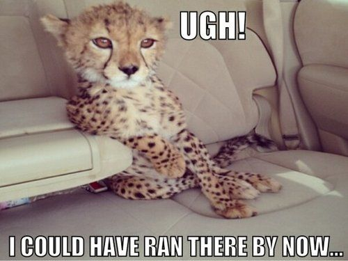 Is the fact that a cheetah is in a backseat of a car just going to be looked over? Yes? Alrighy then.