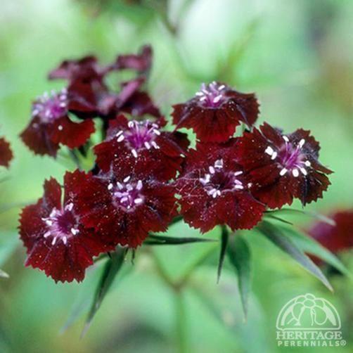 Dianthus barbatus 'Sooty'