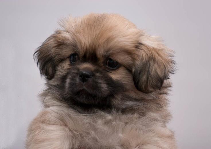 Tibetan Spaniel puppy Wonderful Dogs! Pinterest