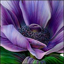 Purple Blue Anenome detail watercolor by Susannah Blaxill - incredible how she gets the effect she does with watercolor!