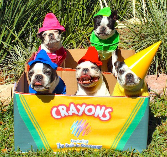 cutest crayons ever boston terrier costumeboston - Halloween Costumes In Boston