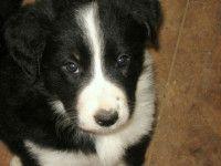 border collie cuccioli stupendi