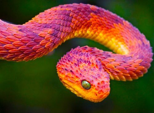 The beautiful, extremely poisonous African Bush Viper.    whoa- its a dragon    That is the prettiest snake I've ever seen.    That is a tiny dragon (of the wyrm body type) and either is hiding it's wings in some fashion or they haven't grown yet. You cannot convince me otherwise.: