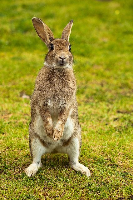 ~~Good Morning Bunny Rabbit by WilliamBullimore~~