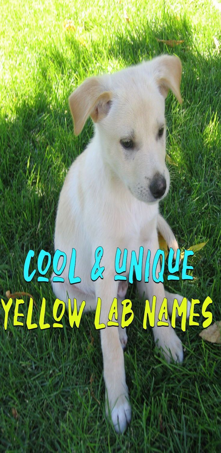 Need A Great Name For A Yellow Lab Names Or Puppy Uѕe The List Below To Find The Perfect Female And Male Yell Yellow Lab Puppies Dog Names Lab Puppy Training