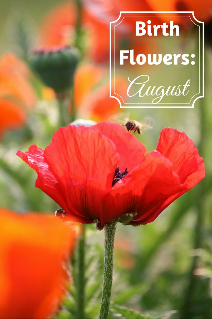 Flowers are a popular birthday gift, and choosing the recipient's birth month flower makes it more personal. Take a look at the birth flowers for August.