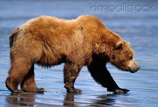 Good profile of a grizzly bear for tattoo.  BEA 03 TL0013 01 - Profile Of Coastal Grizzly Bear Walking Along Riverbank - Kimballstock