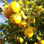 """Dopřejte si potěšení z vlastního citronovníku – nádherné svěží rostliny, která přinese do vašeho interiéru kouzelnou atmosféru tropického ráje. Vhodné prostředí pro citrónovník si vytvoříte ve slunném bytě, případně ve skleníku. Z čeho vypěstovat citronovník? Pokud neplánujete nákup hotového roubovaného citronovníku od některého prodejce subtropických rostlin, můžete si jednoduše zasadit semínka získané přímo z citronu … Pokračovat ve čtení """"Jak pěstovat citrónovník a citróny"""""""
