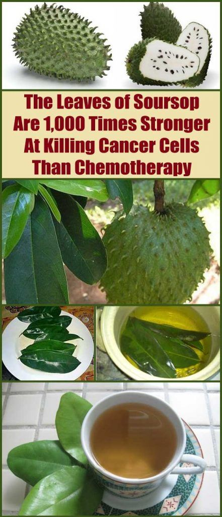 The bark, leaves, and root of the soursop tree have been used for treating and preventing a variety of health problems for hundreds of years now. In this particular article, we will put a spotlight on the leaves of the soursop tree. Read on!