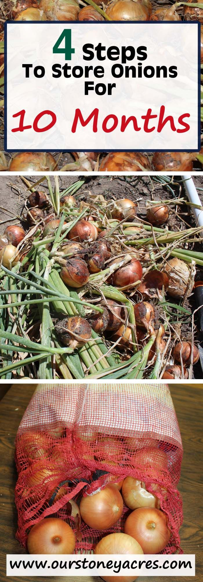 Curing and storing onions for 10 months or more isn't as hard as you might think!  Choose the right variety and follow these steps and you can have your garden grown onions for 10 months or more!