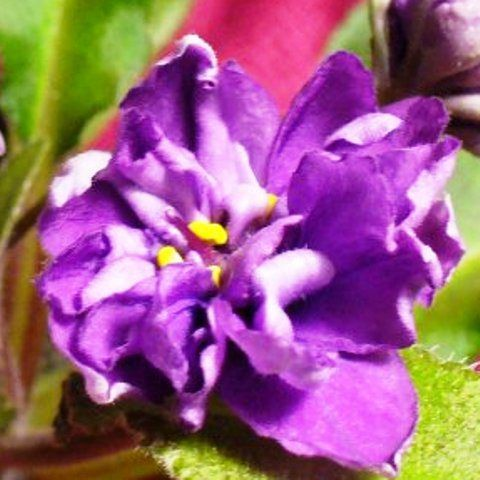 240 Best Semi Miniature African Violet Flowers Plant