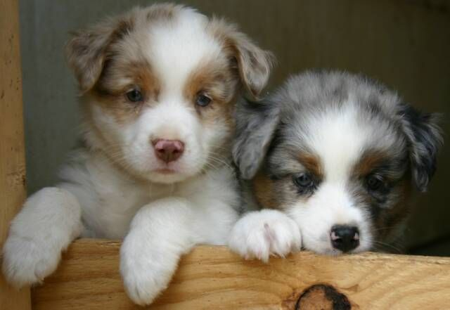 Red And Blue Merle Australian Shepherd Puppies Heart Of Gold Aussies Aussie Puppies Australian Shepherd Puppies Aussie Puppies For Sale