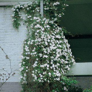 Clematis montana Alexander Blütengröße cm Ø  5-6 Blütezeit Monat  5 Wuchshöhe cm…