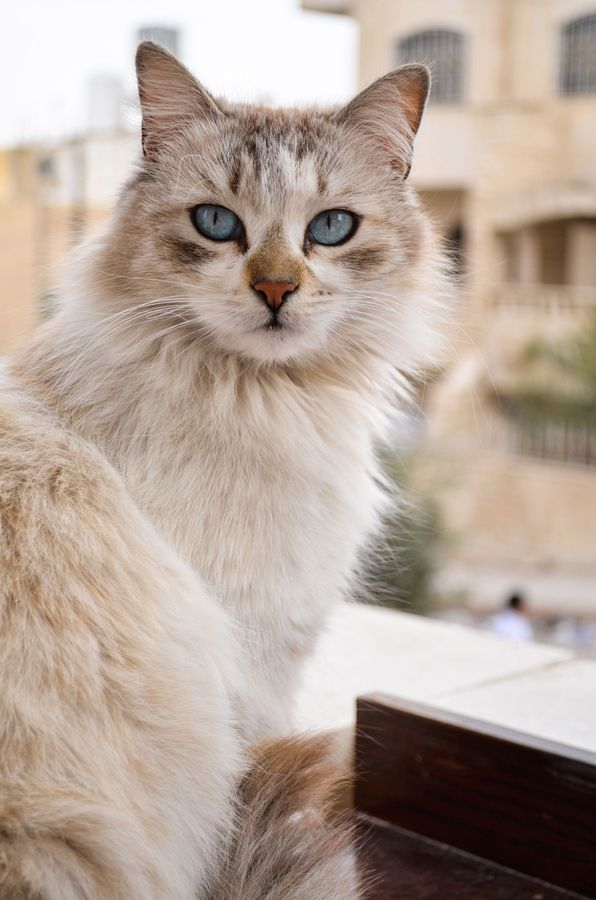 Gorgeous Tom Kitten Grey And White Ready To Go: Photogenicfelines:(Hussein Abdullah)