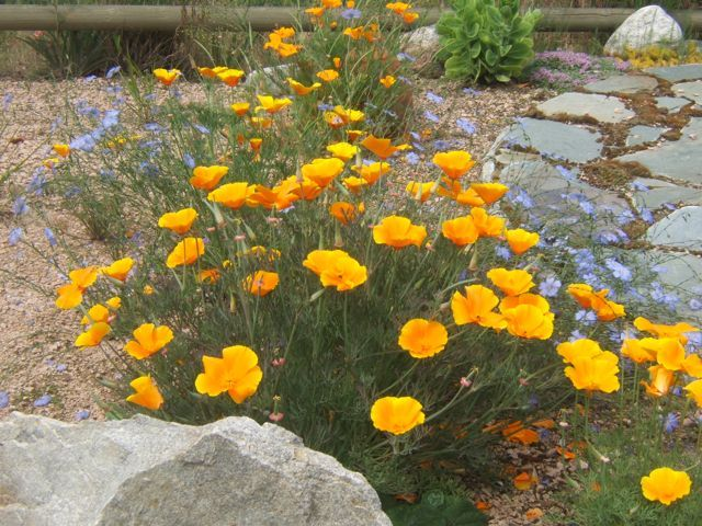California Poppies / Sensible Gardening and Living - gardening in a dry area...