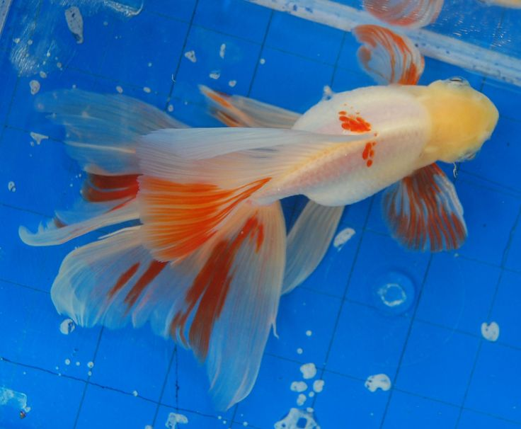 Oranda...  Fancy Goldfish like these were meant to be viewed from above in ponds.  That is why many photos show them from this angle.  I love them any way I can see them!