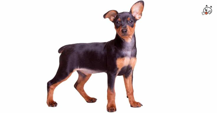 Did you know theese details about our  #Doberman_Pinscher puppies? Click the Link or the image now and learn everything about them ;) http://puppies4all.com/doberman-pinscher-puppies-for-sale/ #dog #doglover #puppy #p4a#puppies #dogs #adorable #lovely #funny #loyal #breeds;