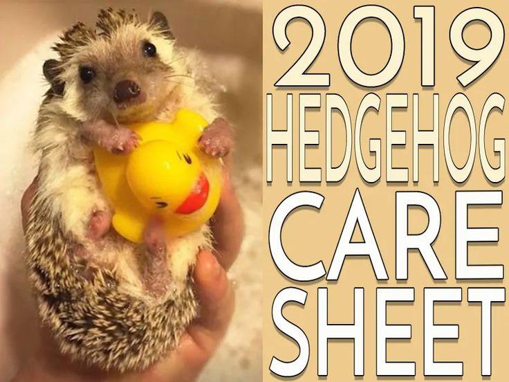 Hedgehog care sheet 2019 version hedgehog care baby