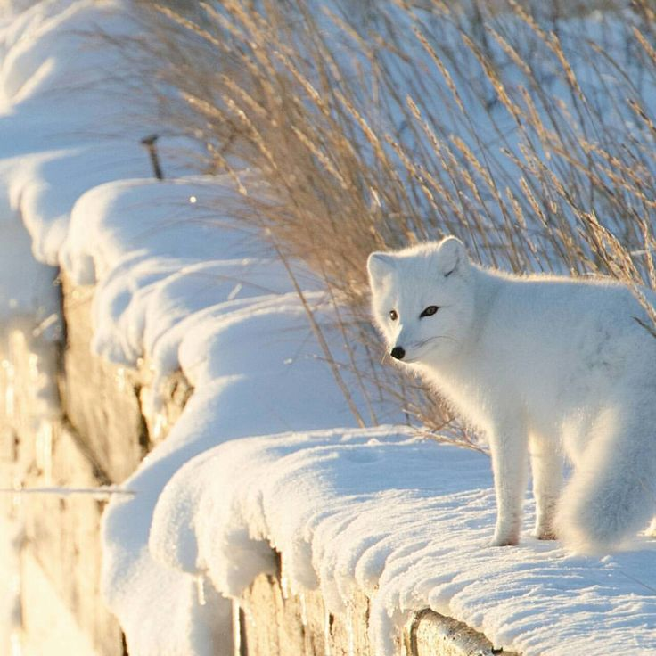 Like a cat, the Arctic Fox uses it's big bushy tail for balance. Their tail also helps keep them warm in the cold of the tundra.