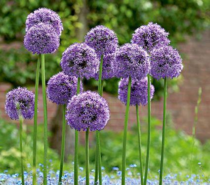 Allium Gladiator - White Flower Farm, 3bulbs for 20 dollars, 6 for 38...  3-4 ft tall, bloom may-June