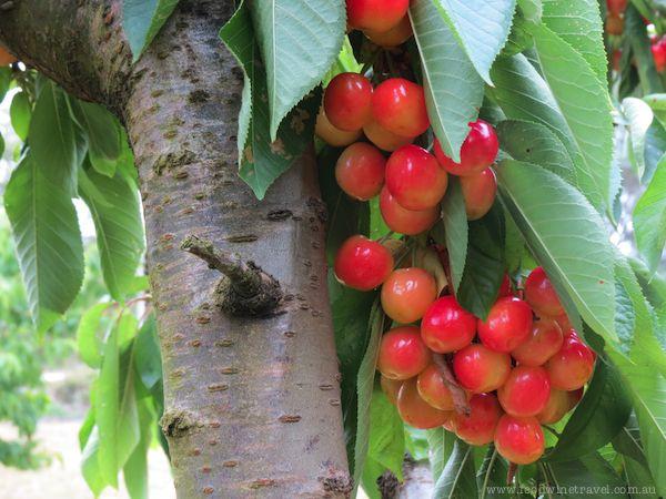 White Cherries at Ballinaclash Orchard, Young, NSW, Australia