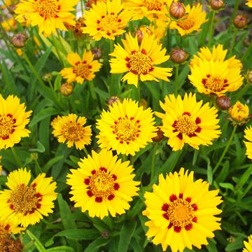 'Domino' coreopsis (Coreopsis grandiflora 'Domino'): gold daisies with maroon center. 15-18-inch-tall, Zones 4-9 - BHG.com