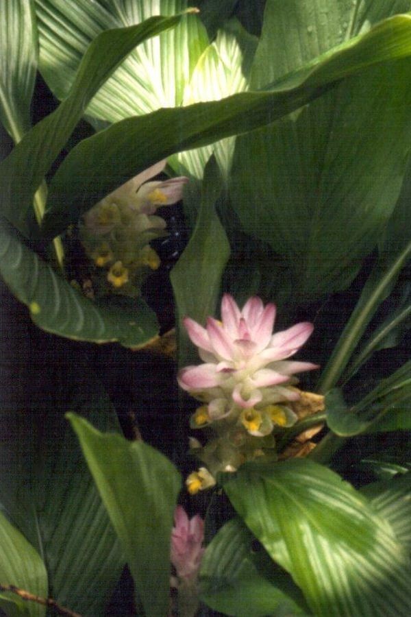 Curcuma Longa, Turmeric Plant ~ Combined with black pepper, curcumin becomes 2000 times more potent.