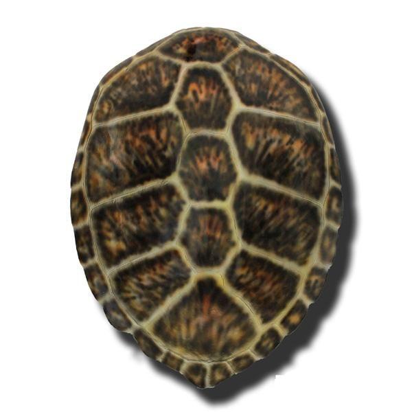 19 Best Turtle Shells Images On Pinterest