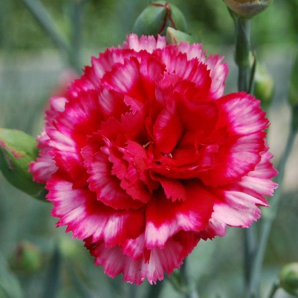 Dianthus+plumarius+Devon+Magic+-+Oeillet+mignardise