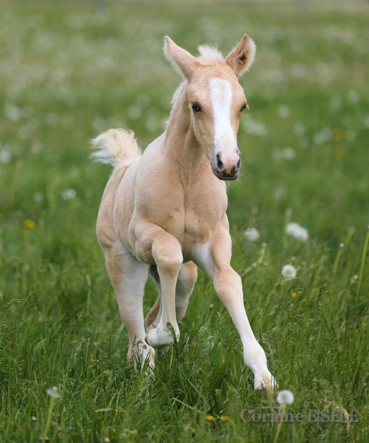 palomino foal -#main